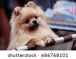 The Dog Breed Pomeranian Spitz...