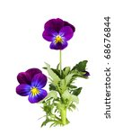 Purple Pansy Flower Plant...