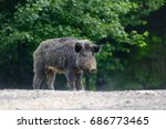 wild boar on the forest in... | Shutterstock . vector #686773465