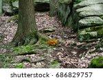 Jack O'lantern Mushrooms In The ...