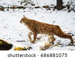 lynx hunting in winter   Shutterstock . vector #686881075