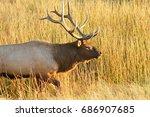 bull elk walking through tall...   Shutterstock . vector #686907685