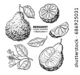 bergamot vector drawing.... | Shutterstock .eps vector #686925031