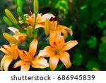 bright fresh lily flowers as a...   Shutterstock . vector #686945839