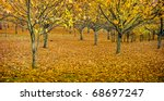 Spectacular autumn colours in an orchard, with small toadstools in foreground - stock photo