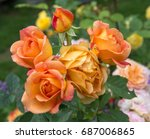 Stock photo blooming orange english rose in the garden on a sunny day rose lady of shalott 687006865