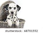 Dalmatian Puppy Sitting In A...