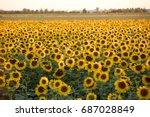 sunflowers field near arles  in ...   Shutterstock . vector #687028849