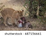 Small photo of The hungry lioness- Only the strongest, fittest and the fastest survive here.