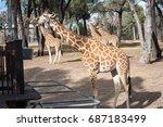 giraffe eating.   Shutterstock . vector #687183499