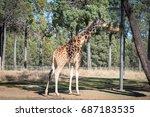 giraffe eating.   Shutterstock . vector #687183535