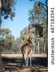 giraffe eating.   Shutterstock . vector #687183541