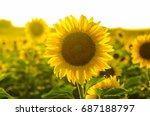 Sunflower Field Landscape Fiel...