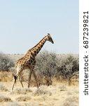 giraffe in the savannah  namibia | Shutterstock . vector #687239821