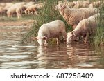 flock of sheep on a watering... | Shutterstock . vector #687258409