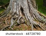 A Close Up Of The Old Big Stump.