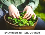 gardener with strawberries.... | Shutterstock . vector #687294505