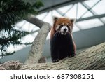 Red Panda At Singapore River...