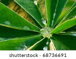 Leaf Of Lupinus With Drops Of...