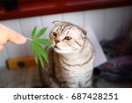 cat sniffs  leaf of marijuana ... | Shutterstock . vector #687428251