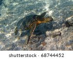 Meet the Green turtle (Chelonia mydas) near Kona (Big Island, Hawaii) during a snorkel trip 02 - stock photo