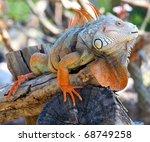 Iguana Reptile Sitting On The...