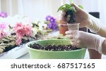 Hands Of A Young Woman Plantin...