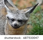 bat eared fox  otocyon... | Shutterstock . vector #687533047