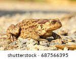 European Common Brown Toad On...