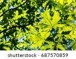 Small photo of Green bigleaf maple (Acer macrophyllum) crown, San Francisco bay area, California