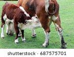 hereford calf  bos taurus ... | Shutterstock . vector #687575701