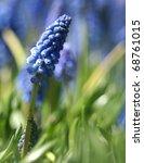 field of blue muscari flowers - stock photo