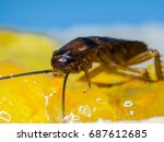 close up cockroaches are eating ... | Shutterstock . vector #687612685