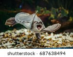 Stock photo carettochelys insculpta the merry turtle swims under the water funny animals 687638494