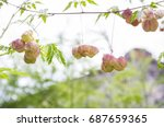 a kind of passion fruit hanging ...   Shutterstock . vector #687659365
