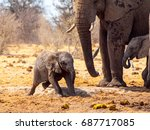 Young African Elephant Playing...