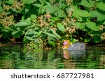 a baby coot is swiming and... | Shutterstock . vector #687727981