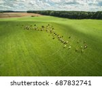 aerial view of cows in a herd...