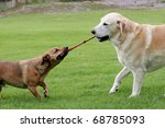 Stock photo labrador and a terrier dog playing tug with a rope toy 68785093