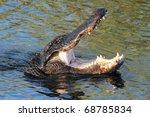 American Alligator ...