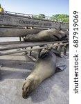 Galapagos Sea Lion Lying On...