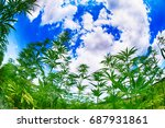 marijuana field and blue sky in ... | Shutterstock . vector #687931861