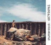 Meerkat  Suricate  Standing On...