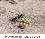 Small photo of Heath Sand Wasp (Ammophila pubescens) pulling larva grub prey into its sandy burrow to stock for food