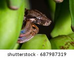 Young Boa Constrictor Resting...