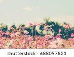 pink cosmos flowers in garden. | Shutterstock . vector #688097821