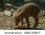Young Collared Peccary