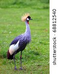 Grey Crowned Crane   Birds In...