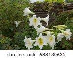 lilium candidum  madonna lily ...   Shutterstock . vector #688130635