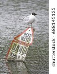 Black Headed Gull Perched On A...